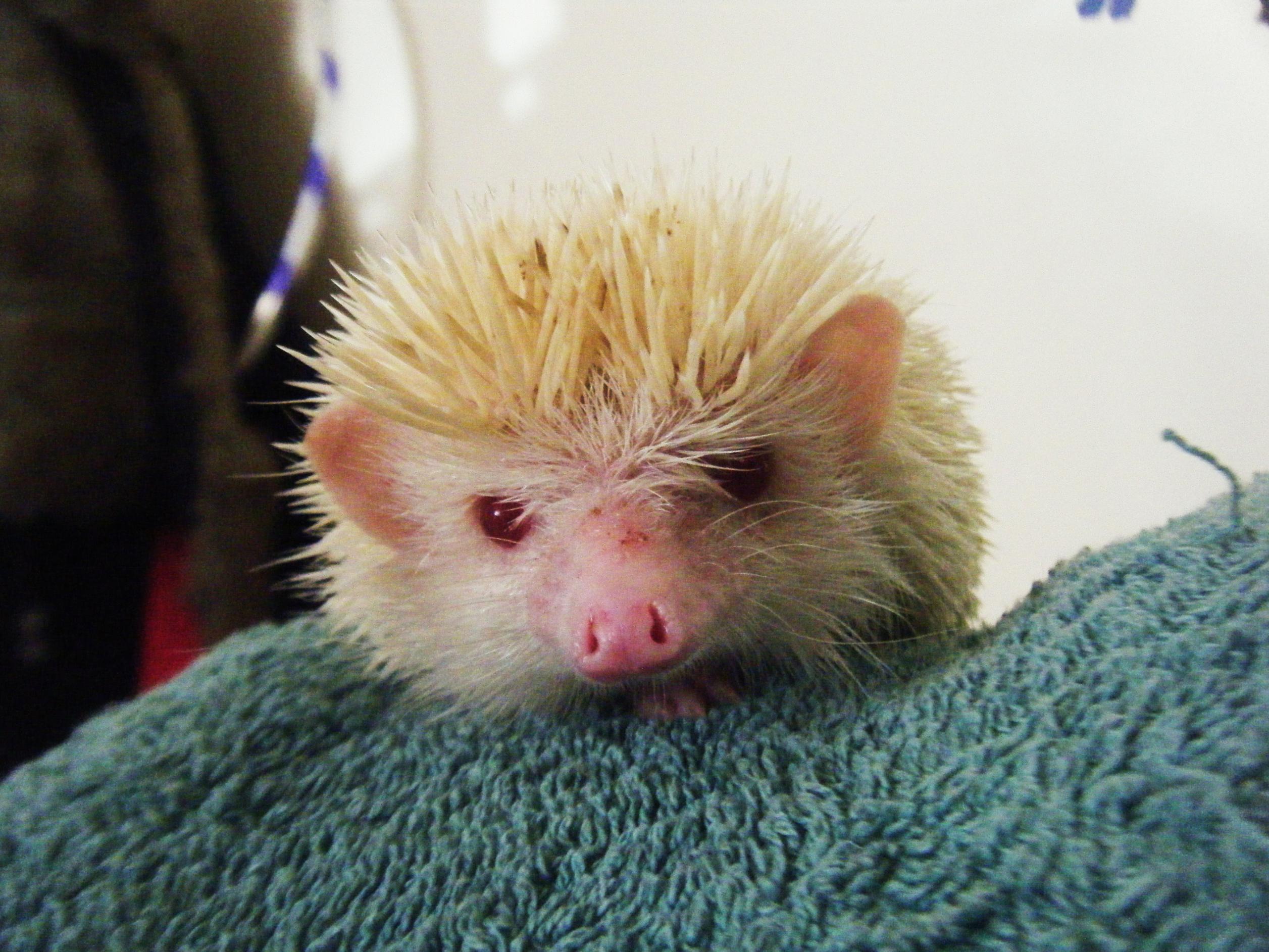 NW England Male Albino African Pygmy Hedgehog! - Reptile ...