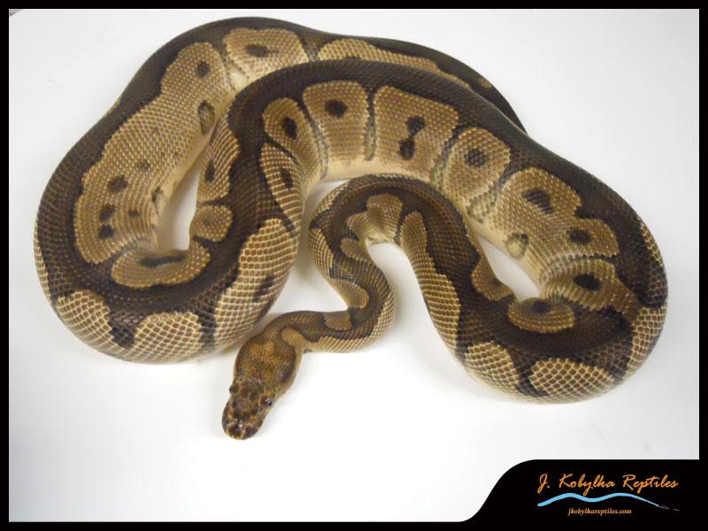 SE England JKR Ball Python Morphs - For Sale - Reptile Forums