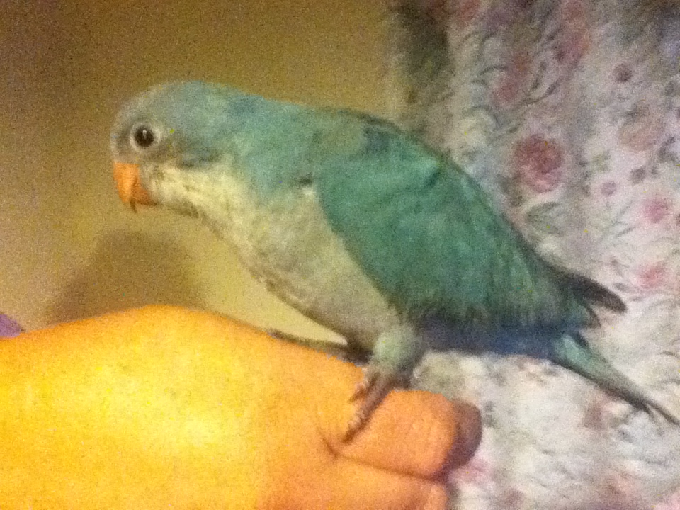 W Midlands handreared baby blue quakers parakeets for sale - Reptile