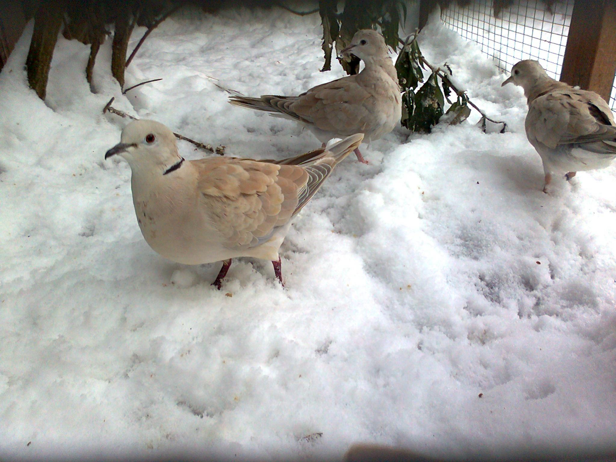 Doves For Sale >> Se England Barbary Doves For Sale Reptile Forums