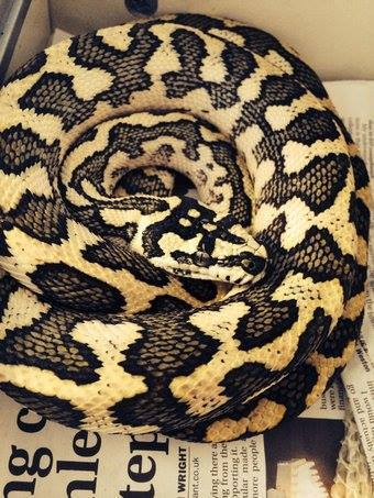 Male 2012 diamond jungle jaguar carpet python for sale-10985467_1031493943529858_7087172039603824710_n.jpg