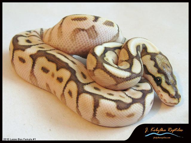 ball python for sale. 1.1 lesser bee ball pythons for sale-10_f-lesserspider_01.jpg python sale