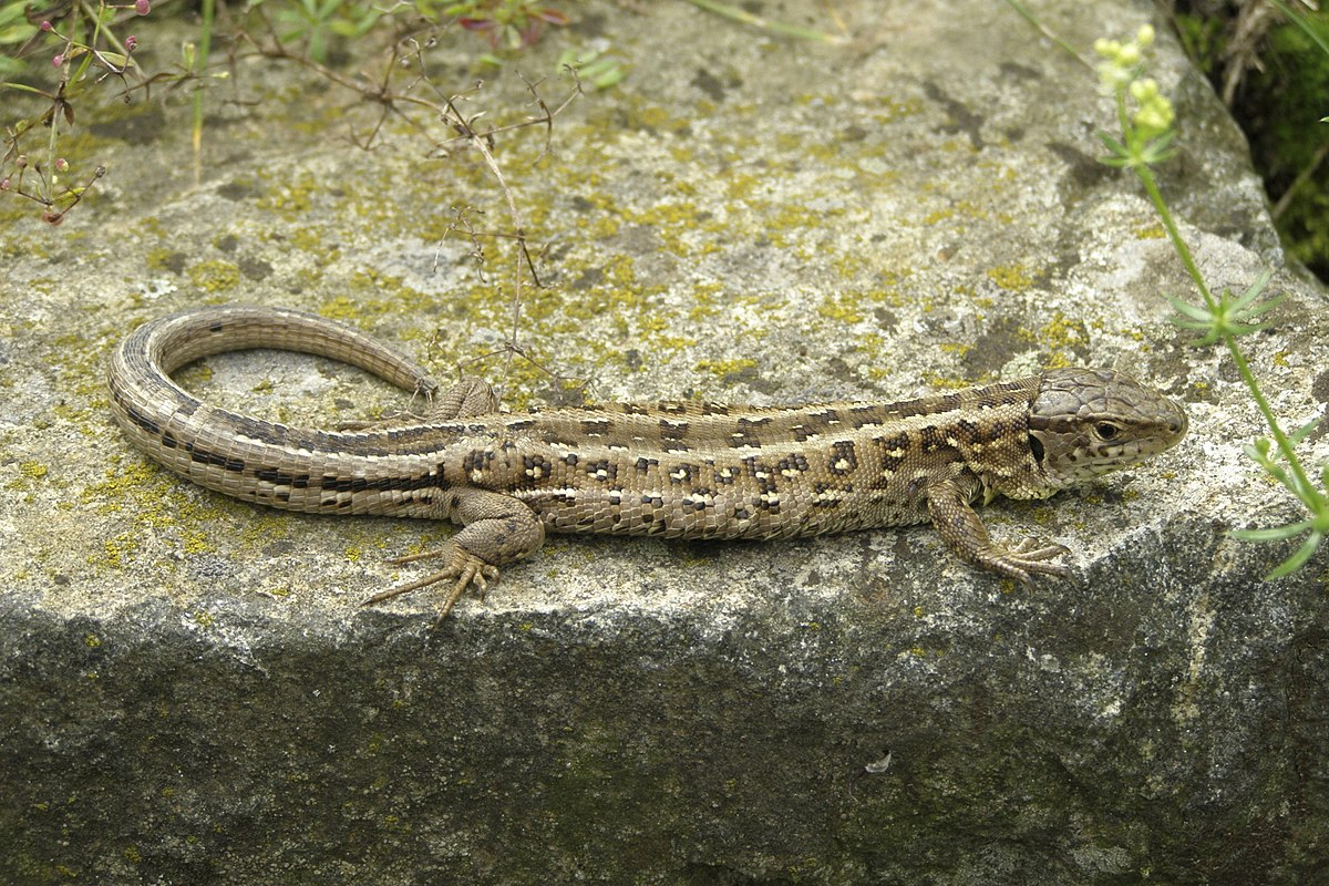 Found a baby Gecko in my garden, North East U.K, please help identify him.-1200px-jaszczurka_1535402329560.jpg
