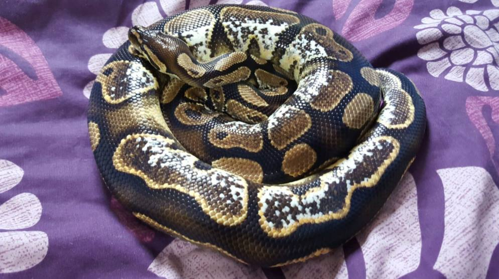 Royal pythons for sale can bring to Doncaster reptile meet-13029556_591478464341690_4828613912998700493_o.jpg