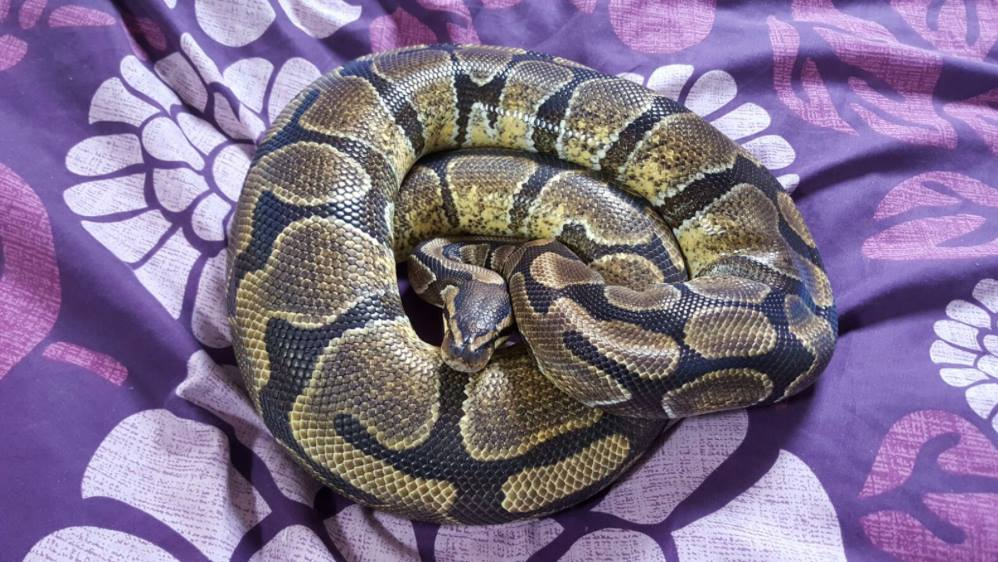 Royal pythons for sale can bring to Doncaster reptile meet-13040958_591478517675018_7870196481535130479_o.jpg