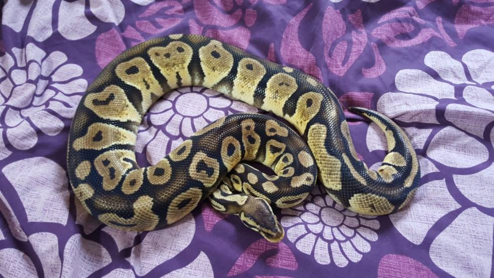 Royal pythons for sale can bring to Doncaster reptile meet-13041003_591478471008356_4303294398064705798_o.jpg