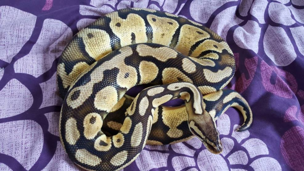 Royal pythons for sale can bring to Doncaster reptile meet-13064513_591478424341694_3543642612339614871_o.jpg