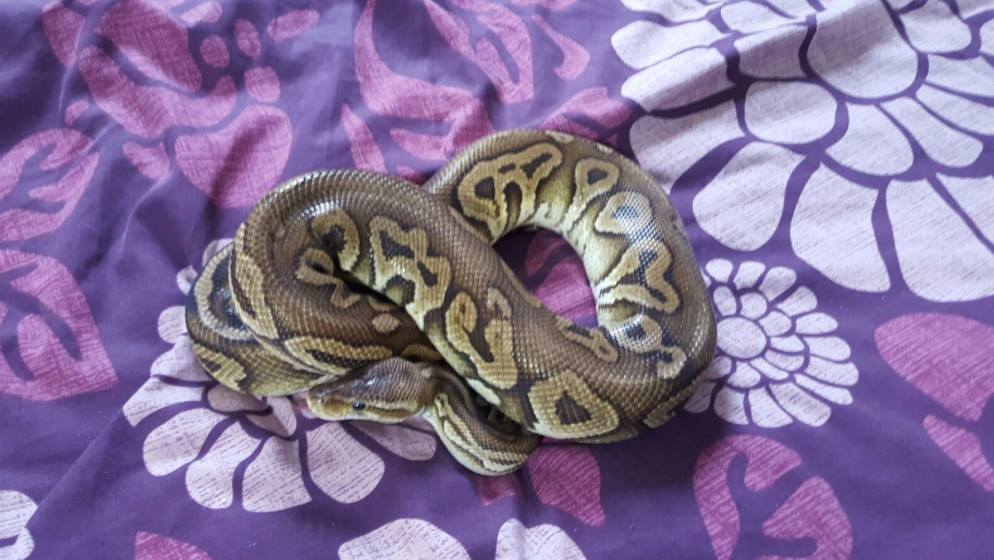 Royal pythons for sale can bring to Doncaster reptile meet-13086690_591478461008357_6967735171257287584_o.jpg