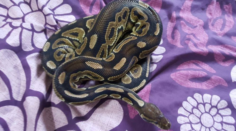 Royal pythons for sale can bring to Doncaster reptile meet-13086946_591478514341685_5806065409410248203_o.jpg