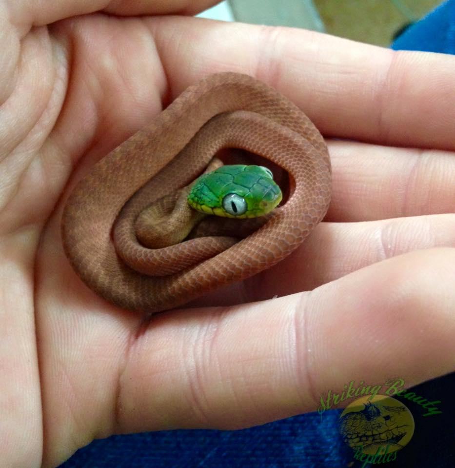 CB15 Boiga Cyanea - Green Cat Snakes-13265941_865061390270537_7567354611018027955_n.jpg