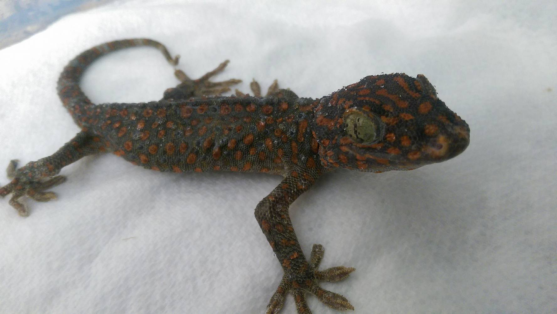 Powder Blue Tokay Gecko 13256 | BAIDATA