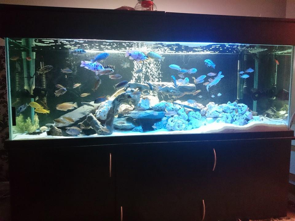 SE England African Malawi Cichlids, Plecos, Catfish &Tank
