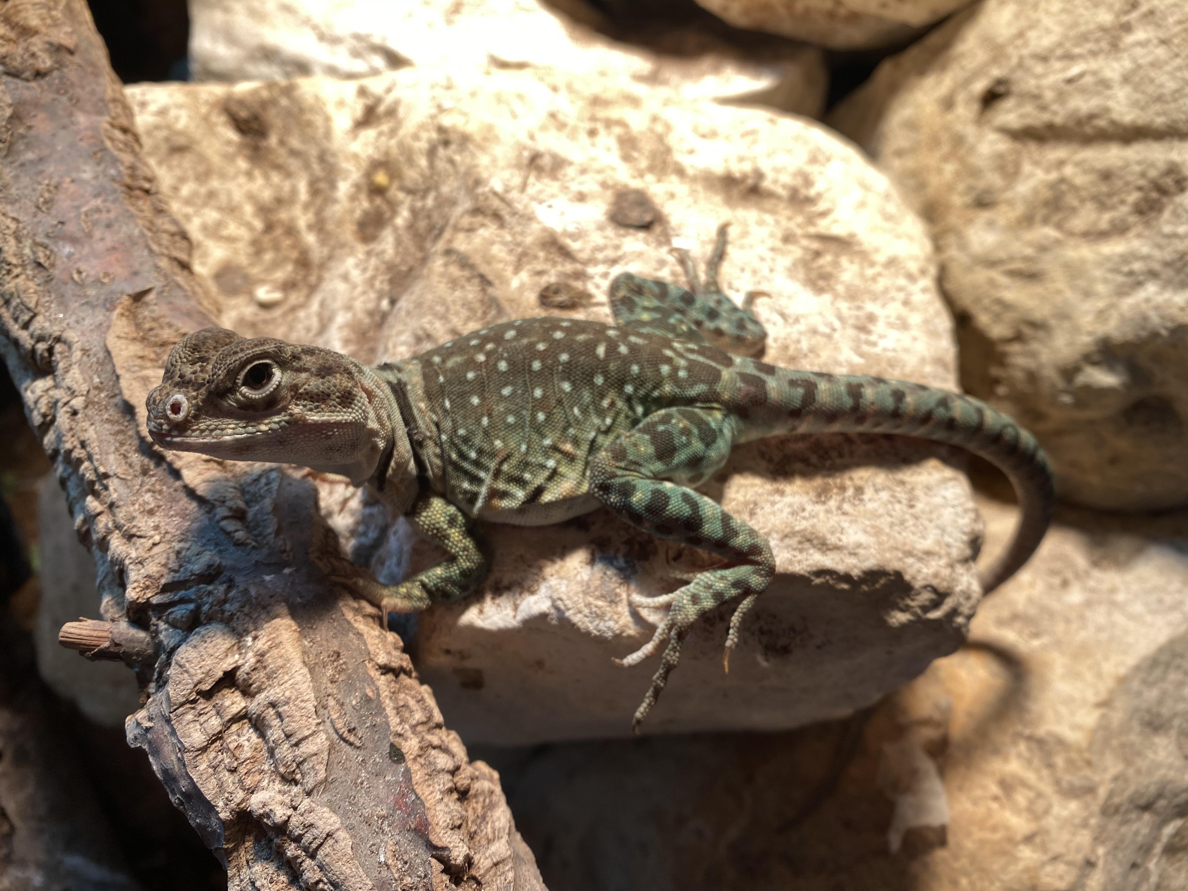 Collared Lizard Pair Blazing Blue line-13c5f506-49c6-4121-bb91-966650d6ac1e_1594224973789.jpeg