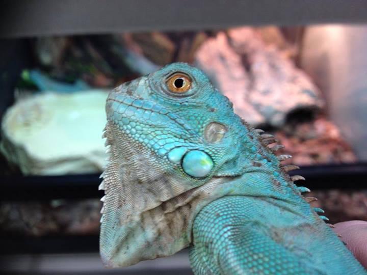 Blue Iguana For Sale : Se england axanthic blue iguana reptile forums