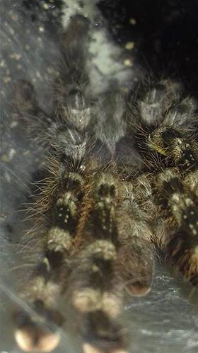 SE England Adult female Poecilotheria regalis for sale - Reptile Forums