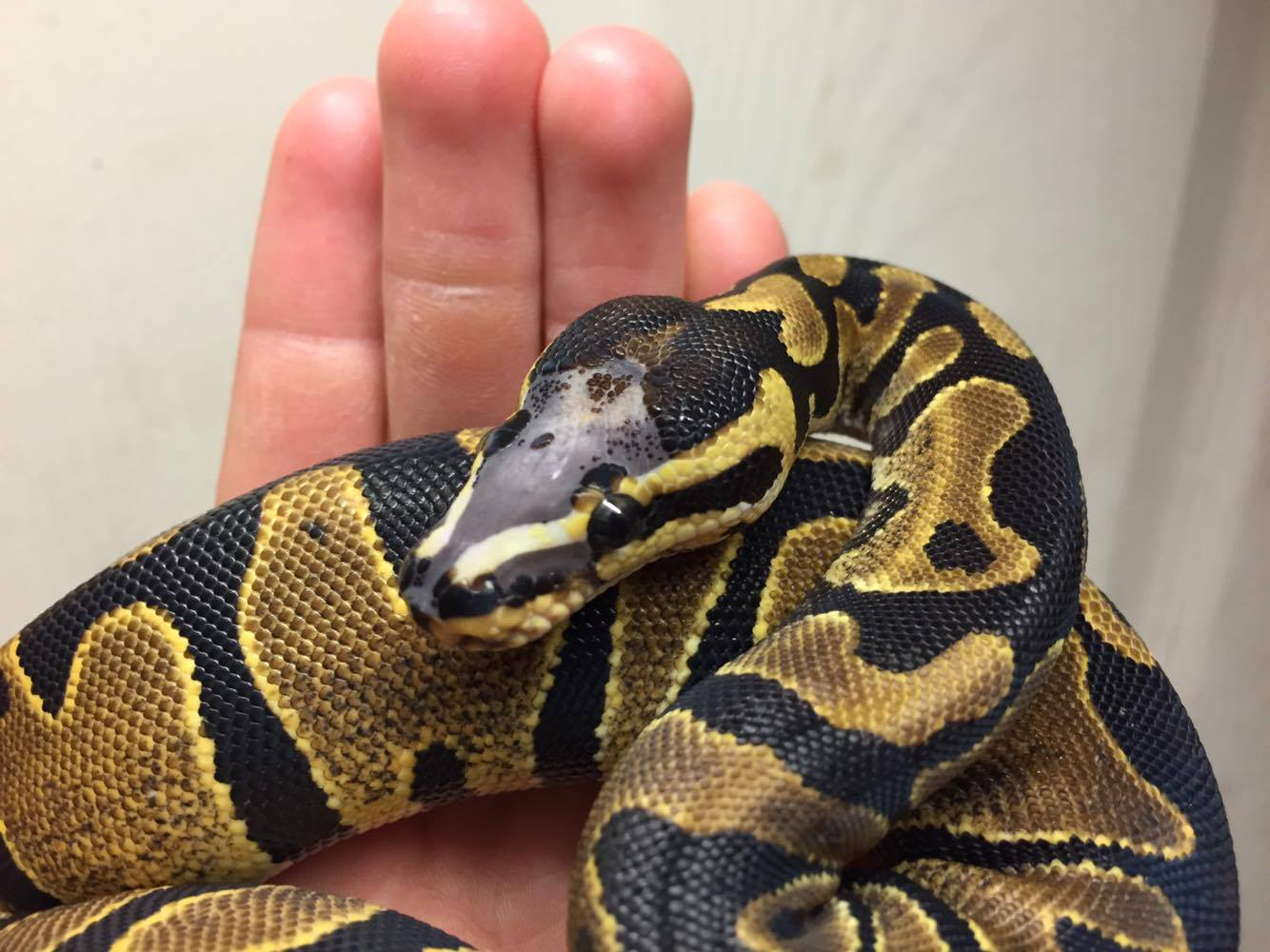 Royal pythons available from Bob Clark Reptiles Europe-1scaleless.jpg