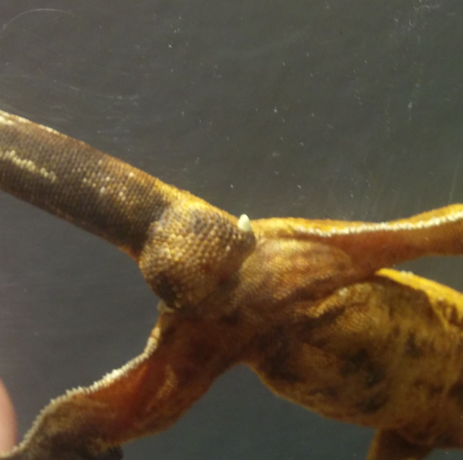 Crested gecko: is this girl a boy?-2.1.jpg