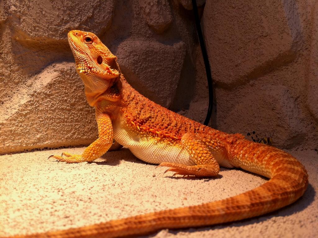 [Image: 33214d1298278236-sale-female-bearded-dragon-red-2.jpg]