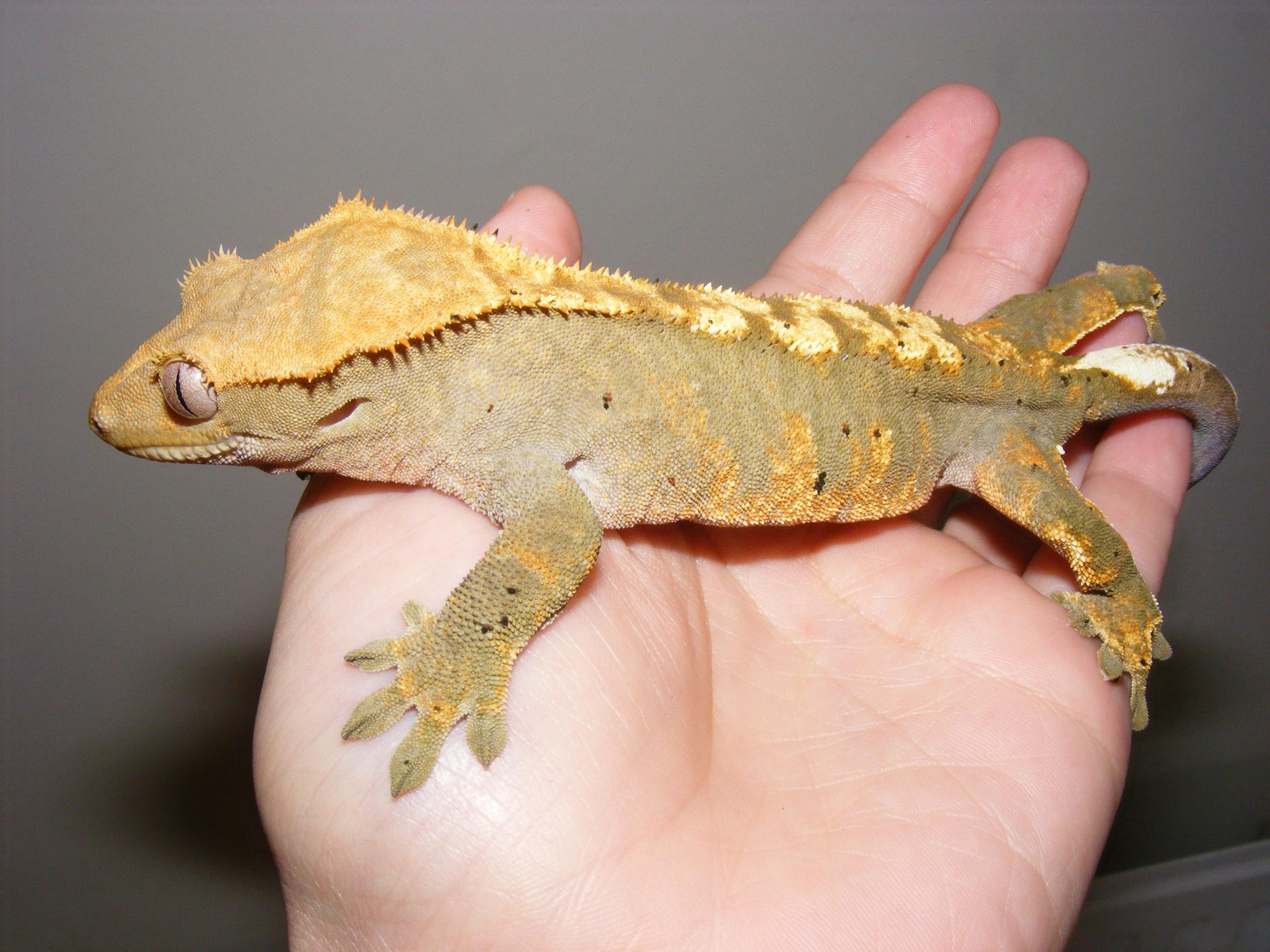 You want a healthy crested gecko? Follow the tips! Page 136