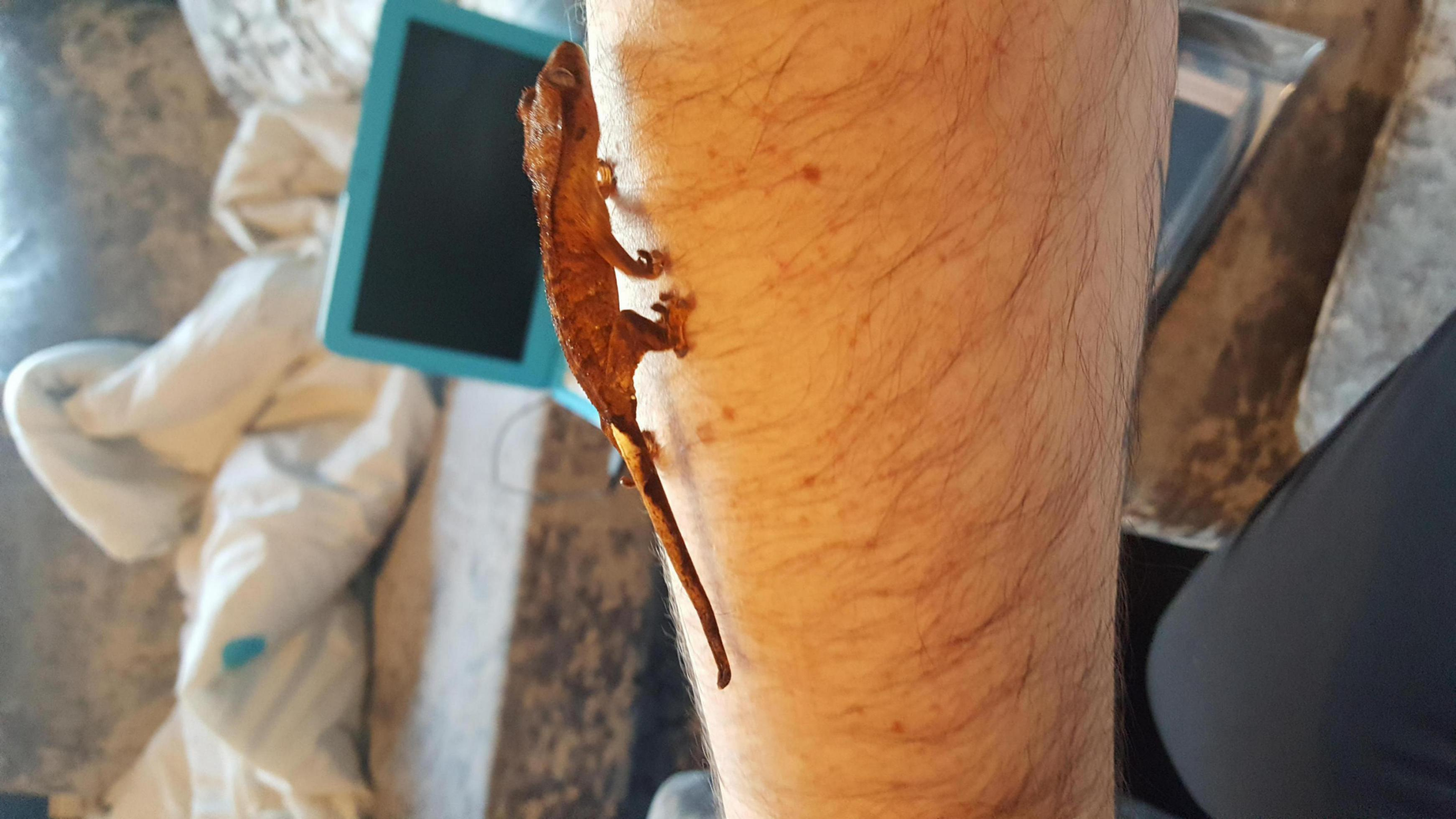New Crested gecko-20180122_144736_1517089920365.jpg