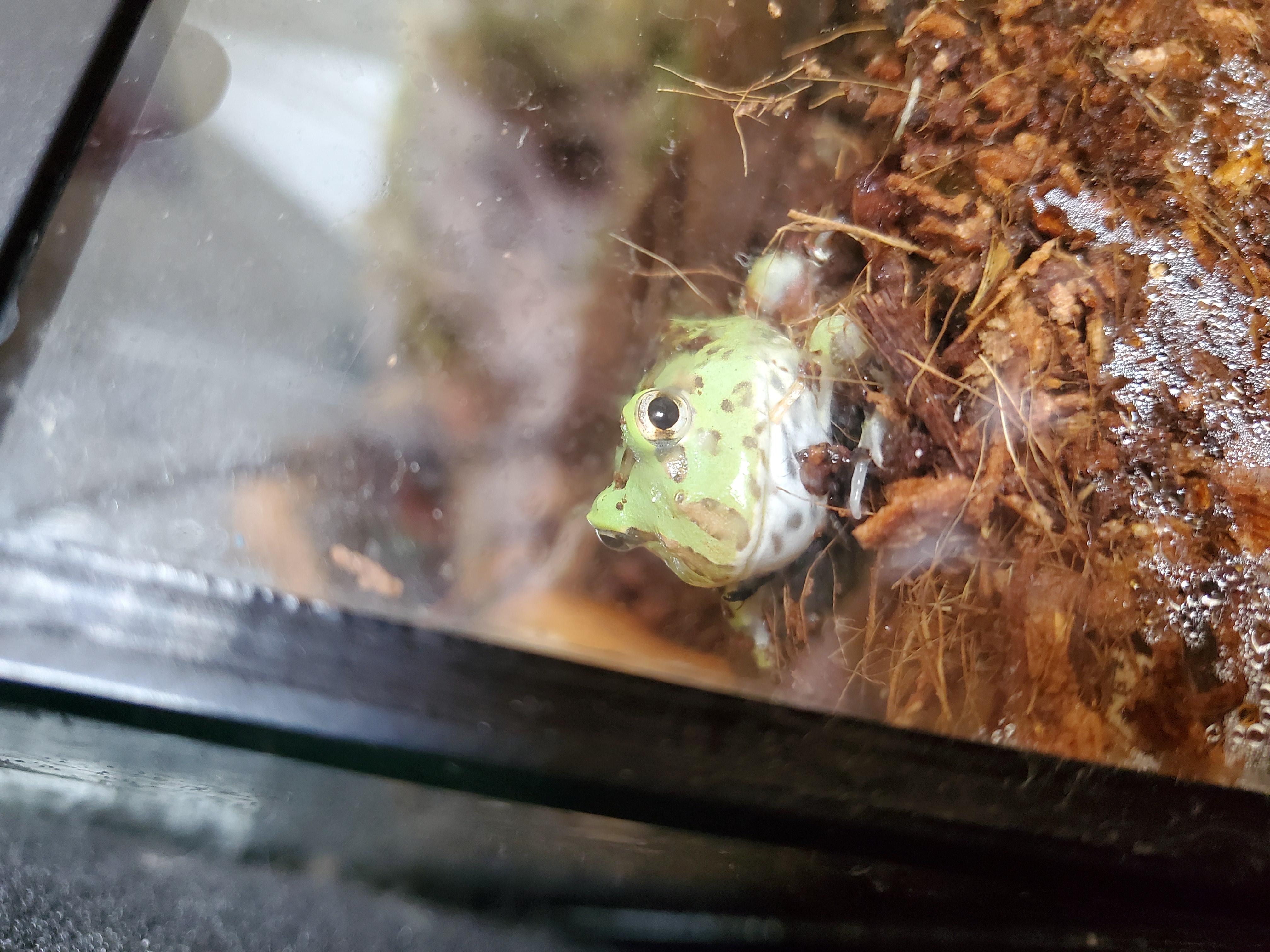 Pacman frog not eating.-20201009_152017_1602259077375.jpg