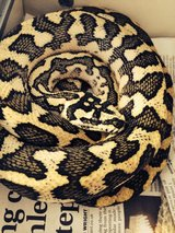 Male 2012 diamond jungle jaguar carpet python for sale-21826883-481-160x213.jpg