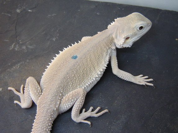 US Witblits bearded dragons - Reptile Forums
