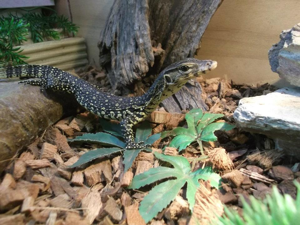 Asian Babies For Sale Baby Asian Water Monitor For