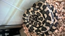 Male 2012 diamond jungle jaguar carpet python for sale-2q-.jpg