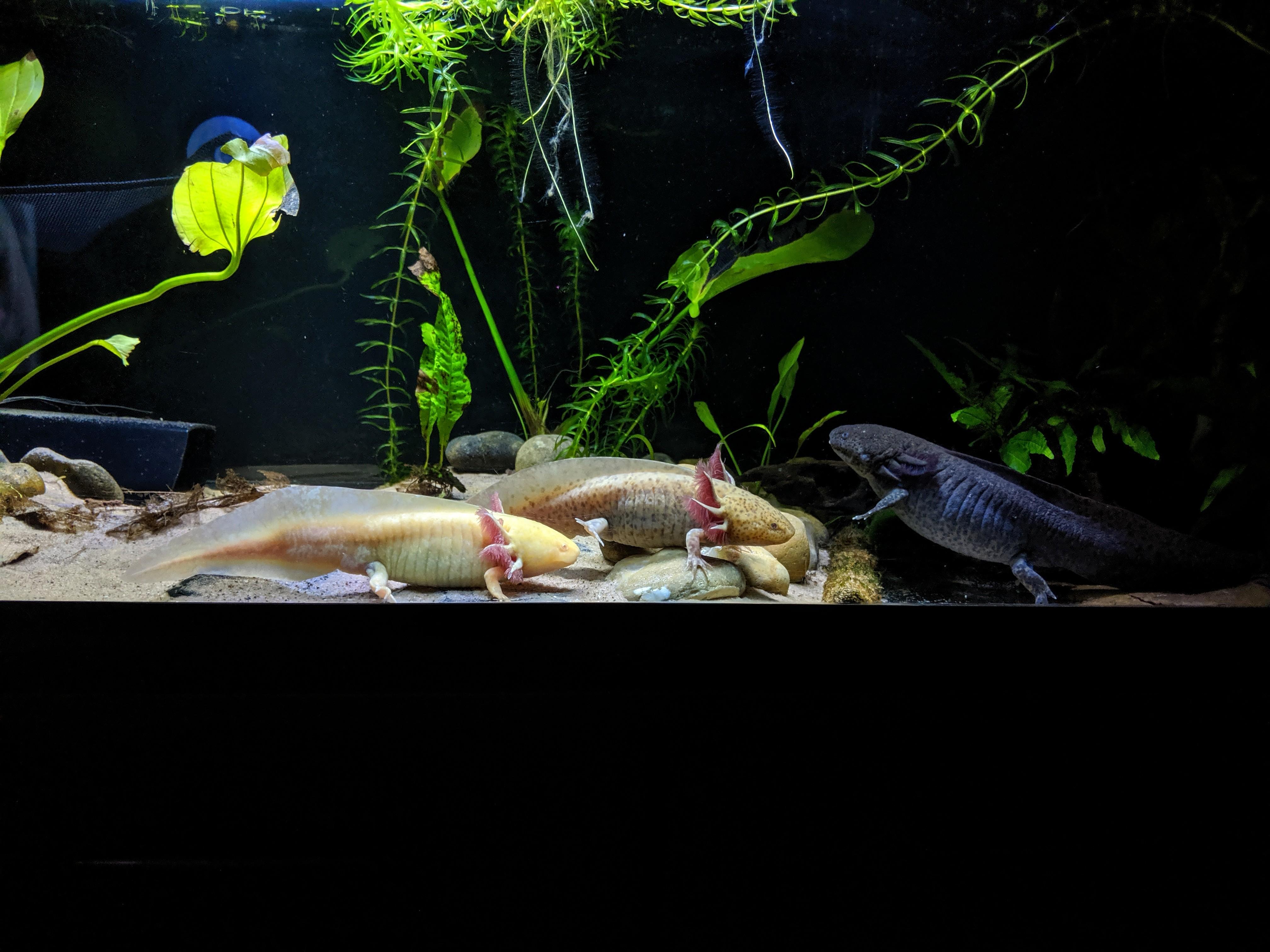 Some of my Axolotls-3adults.jpg