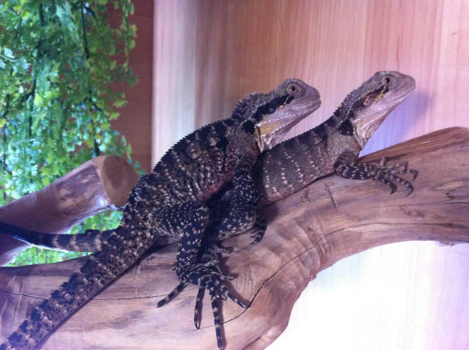 2 australian water dragons-538762_198424466937971_100003112571621_327210_816313988_n.jpg