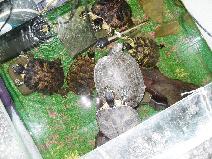 turtles, 2 filters, heater, custom tank, uv light and others.-65715 ...