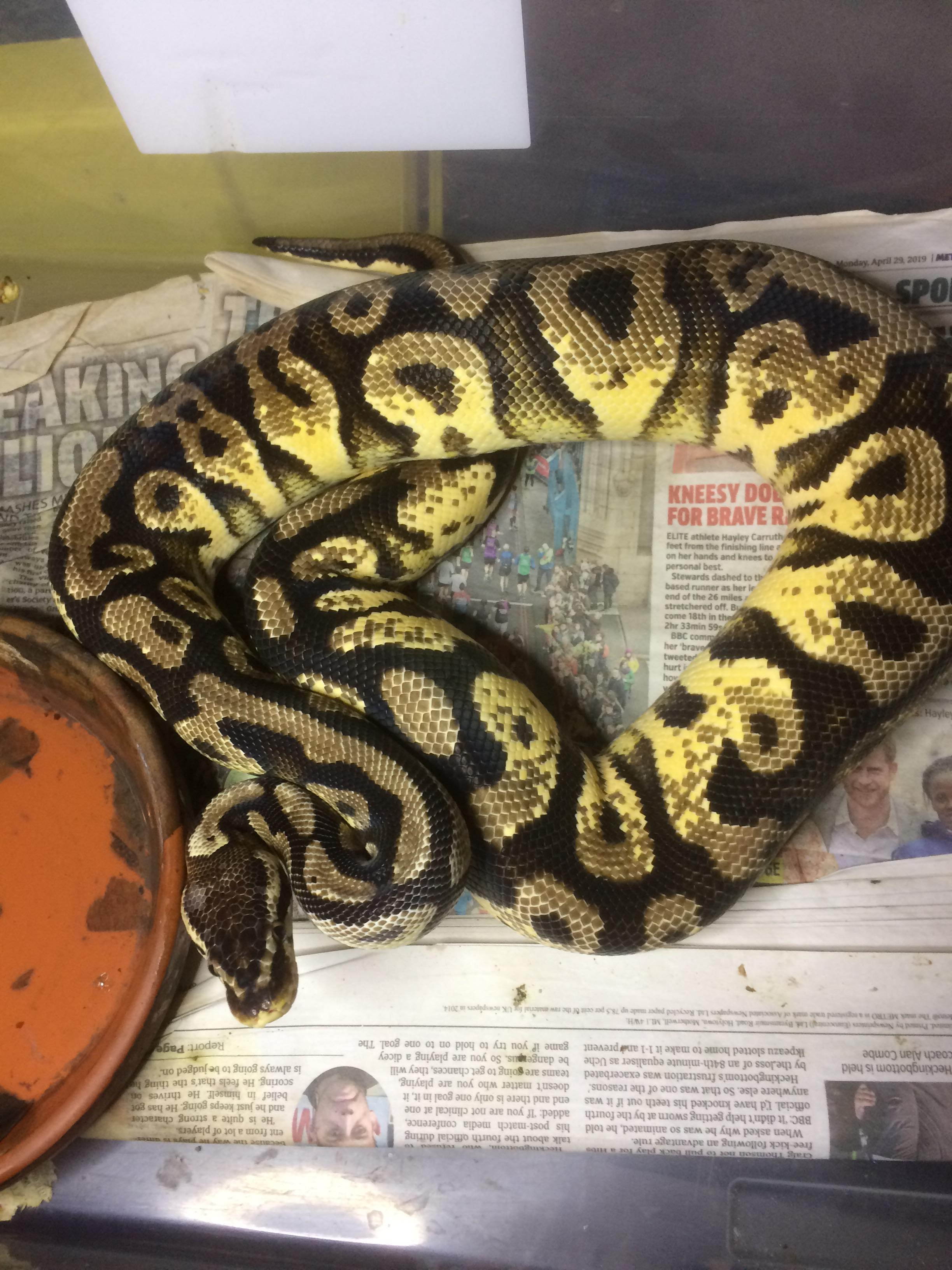 Various male and female royals for sale-67096109_741594862960299_8227094689682030592_n.jpg