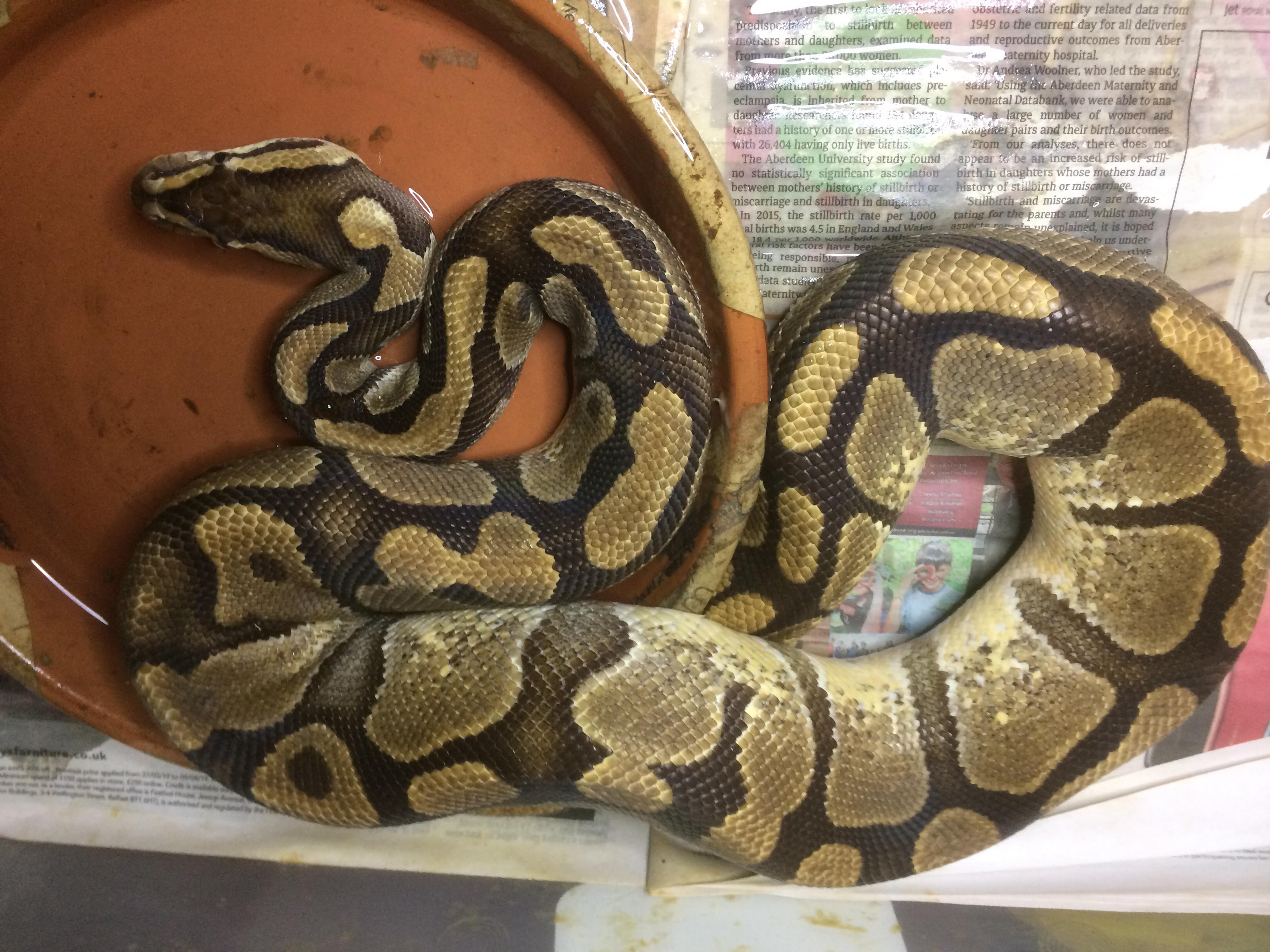 Various male and female royals for sale-67628901_705603559874106_1528094727637827584_n.jpg