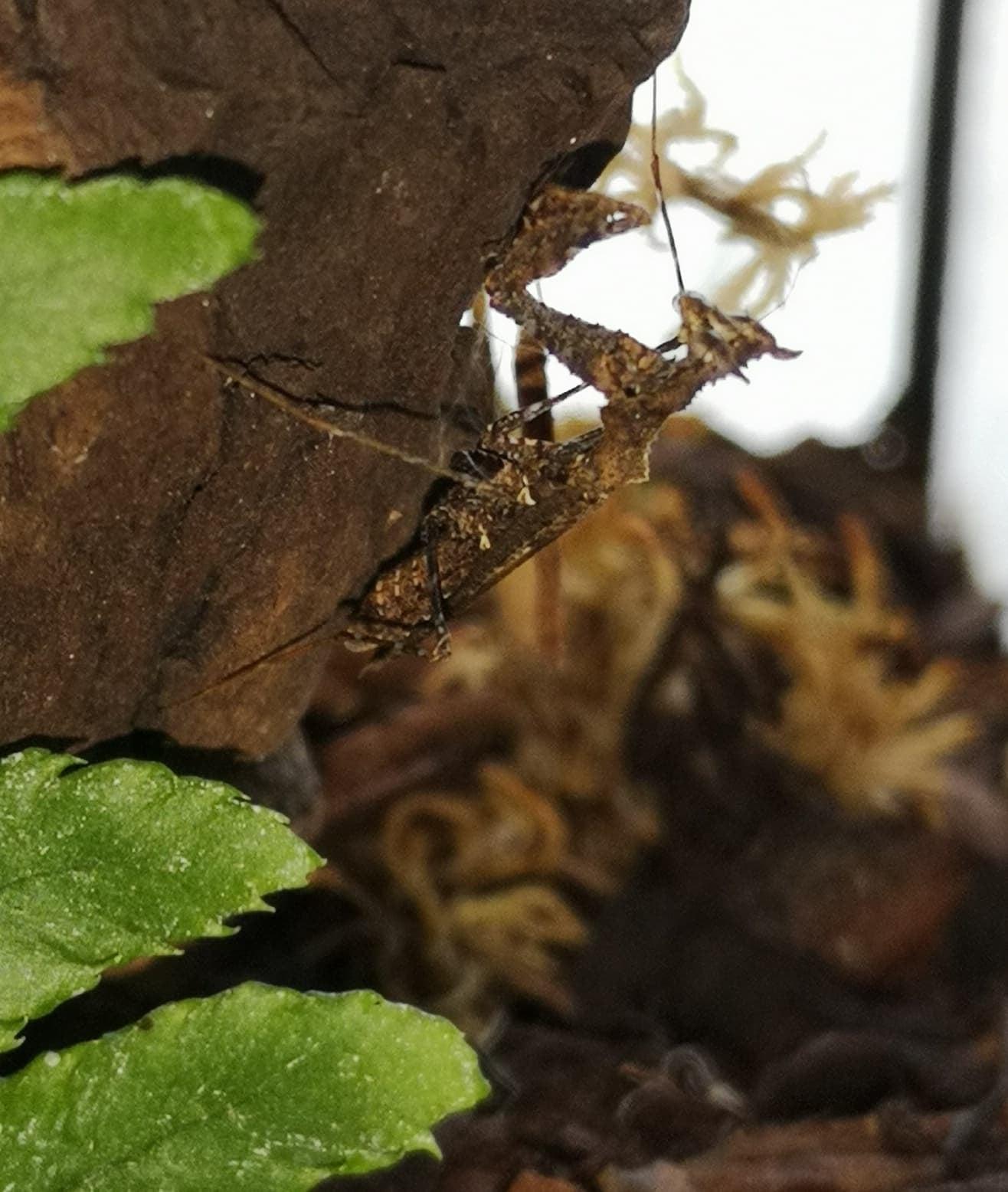 Moss mantis (Haania vitalisi) L3 for sale-69934041_384729622441001_3314246006840754176_o.jpg
