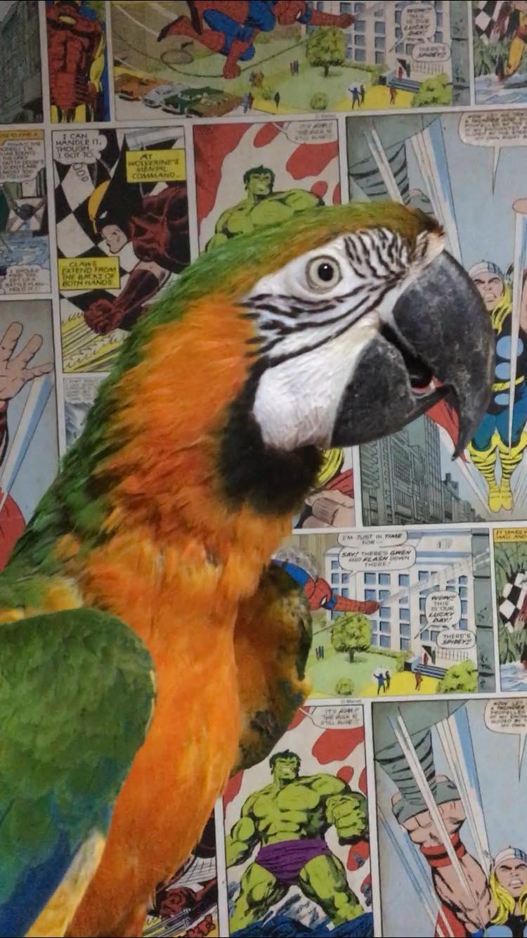 Harlequin Macaw-83882278_186319919404141_9005063161346260992_n.jpg