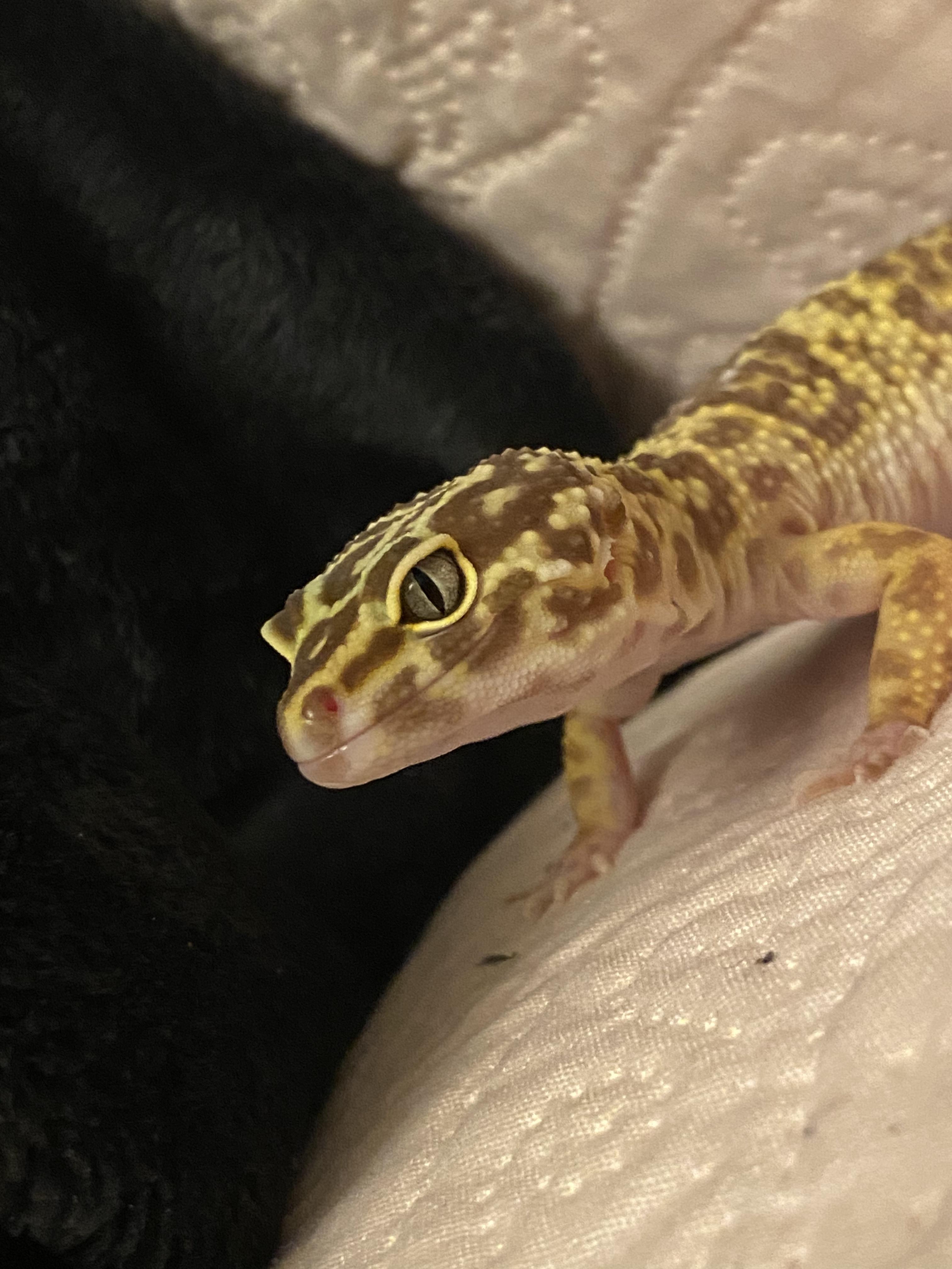 Leopard Gecko Morph-8546444f-e8bd-444d-b7cf-2bd7d4a63c70_1584667571512.jpeg