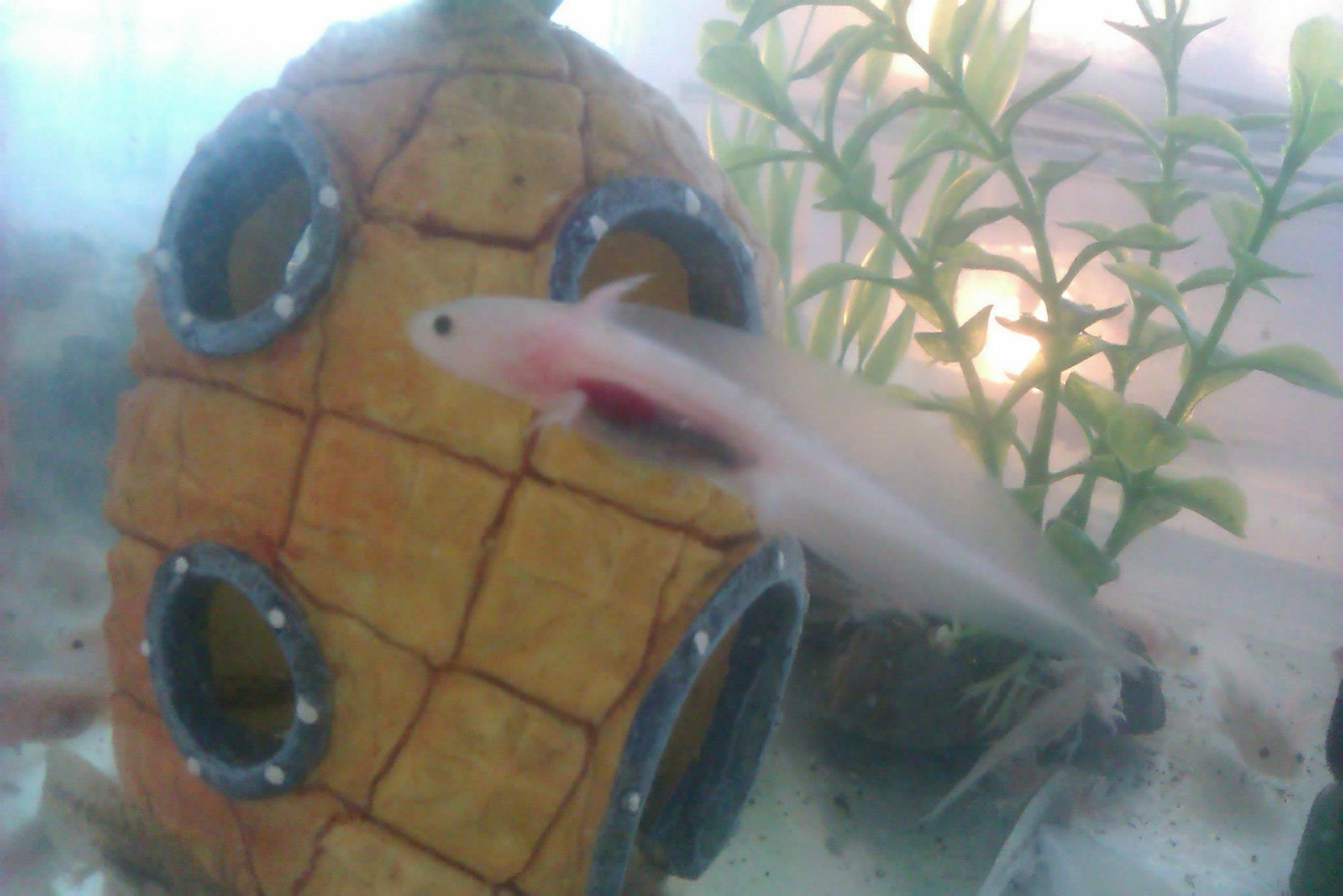 Wales baby axolotls for sale ready now reptile forums for Mexican walking fish for sale