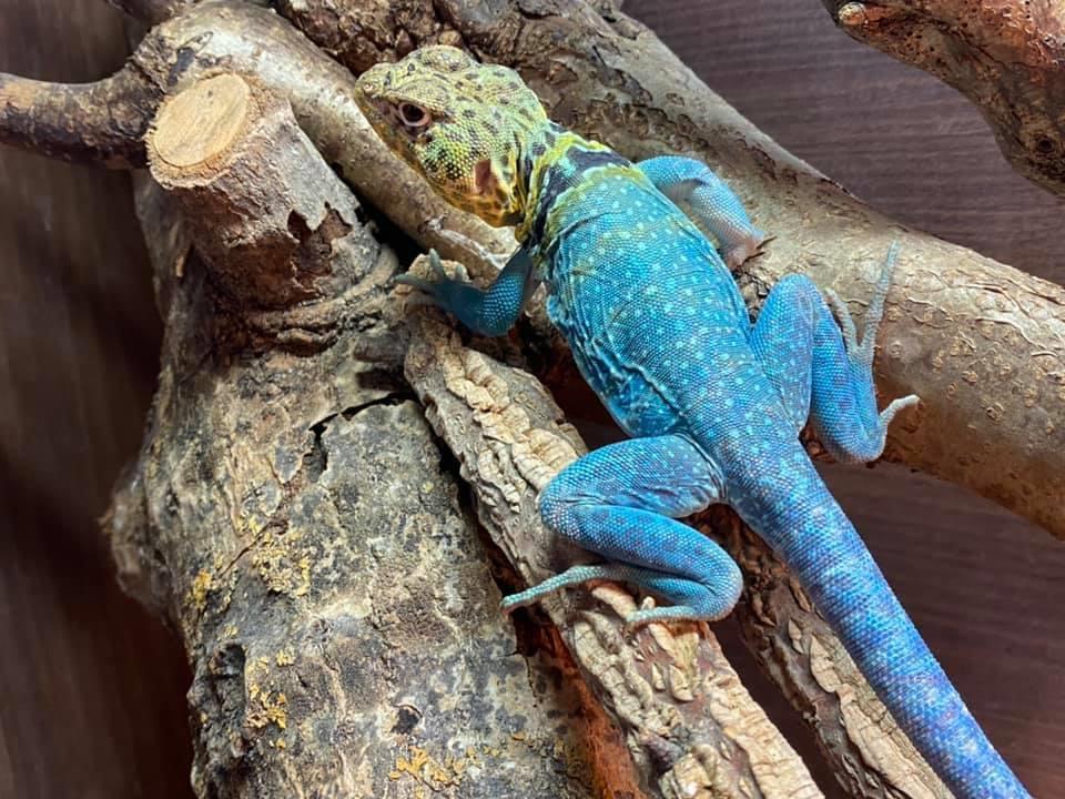Collared Lizard Pair Blazing Blue line-8be310ee-6e2b-4d00-9bb0-eee9cca32bbb_1594224960542.jpeg