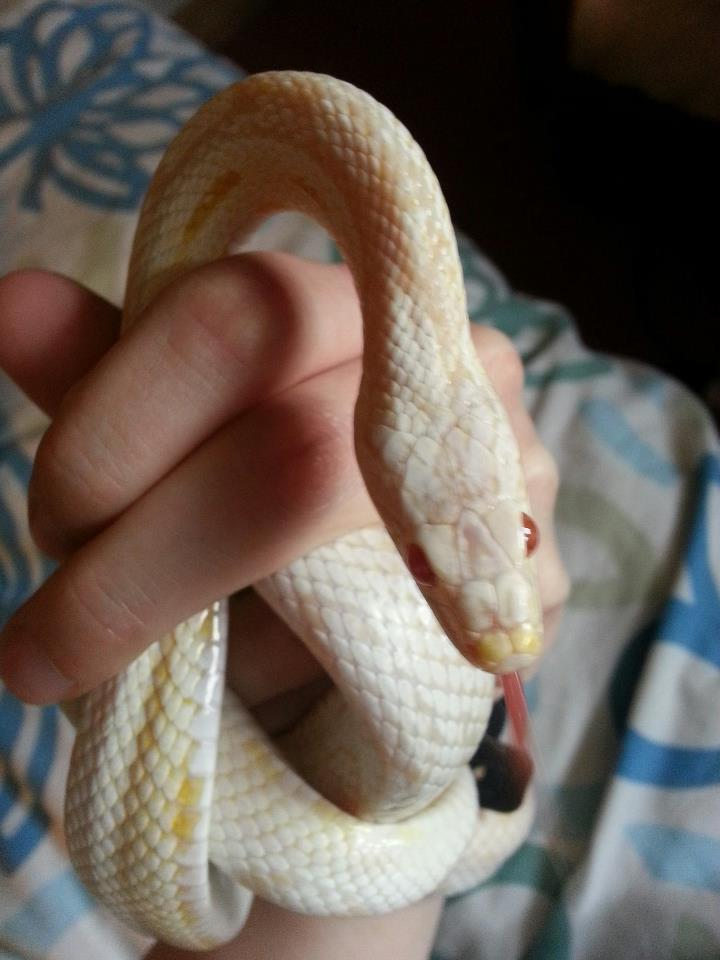 NW England 3 corn snakes for sale - 1 male, 1 male hybrid, one