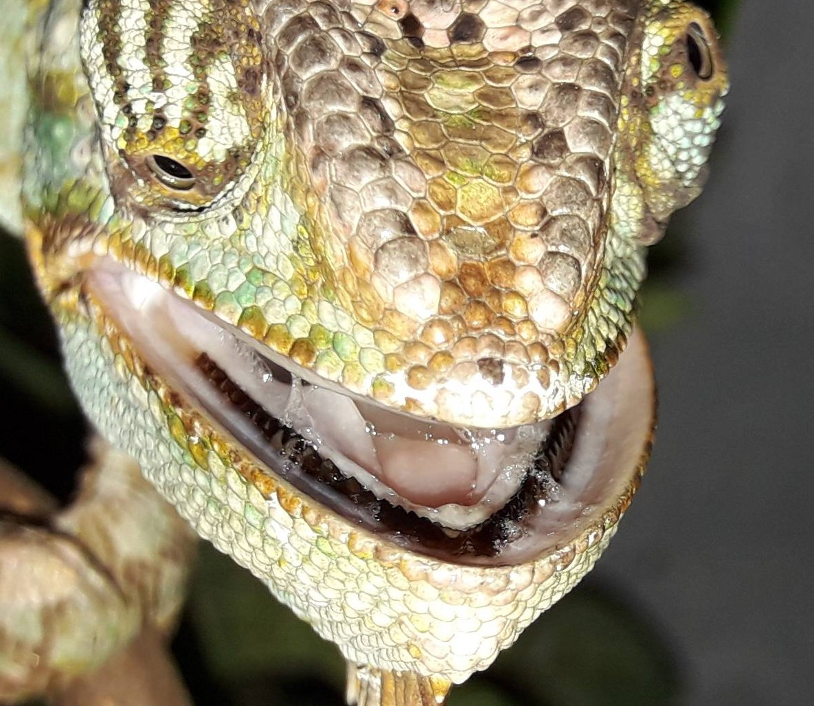 Chameleon black teeth-9cv8jpg-2-.jpg