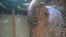 Male 2012 diamond jungle jaguar carpet python for sale-9k-.jpg