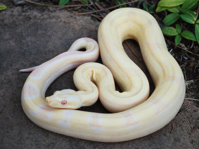 W Midlands Relisted - Royal Python & Boas Import from US - Boa