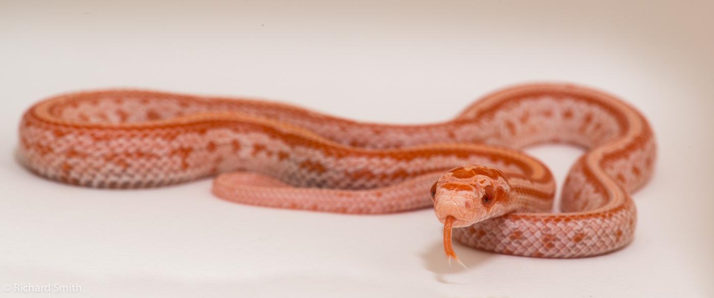 SE England Tessera Corn Snakes - Reptile Forums