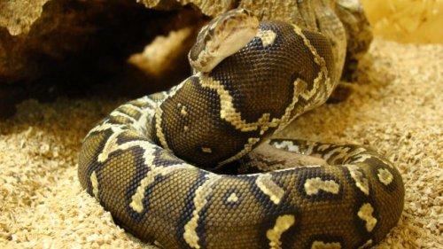 Angolan Python Snakes, Pyton Types, Angolan Python Snake Type, Python Names, Type of Python