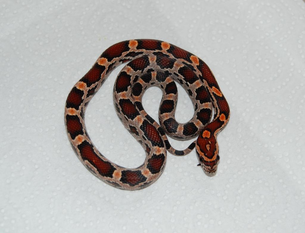 Reptile Forums - View Single Post - SE England CB13 Abbotts Okeetee