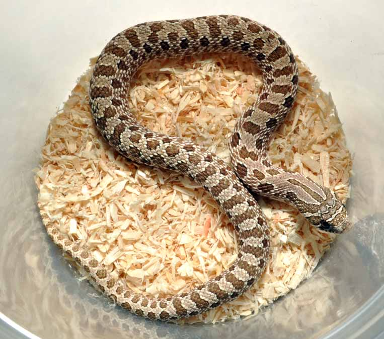 Reptile Forums - View Single Post - SW England Hognose morphs