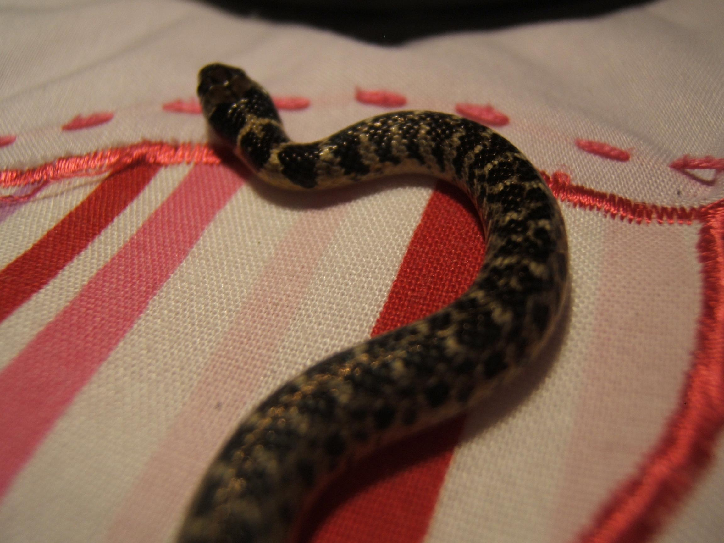 Red Bellied Water Snake Gold Bellied Water Snakes For