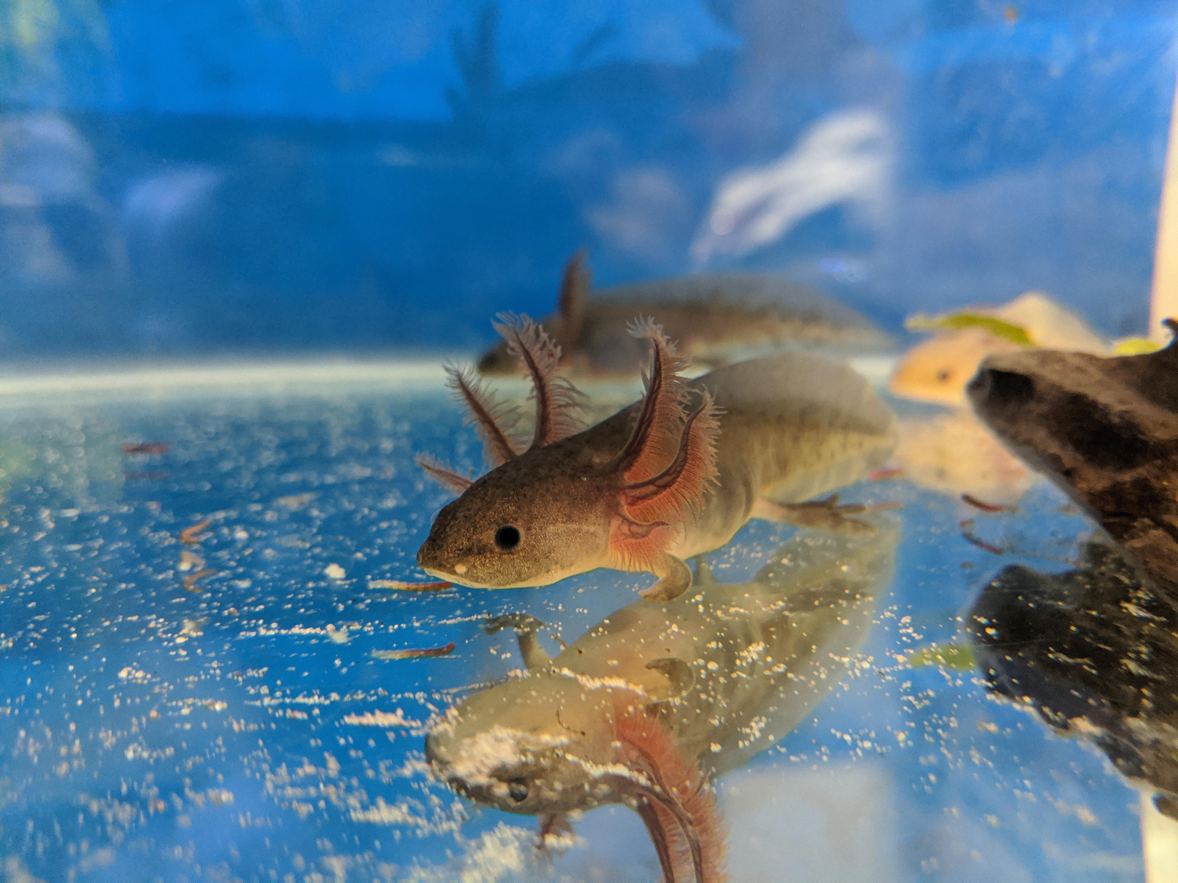Some of my Axolotls-blackmelbaby.jpg