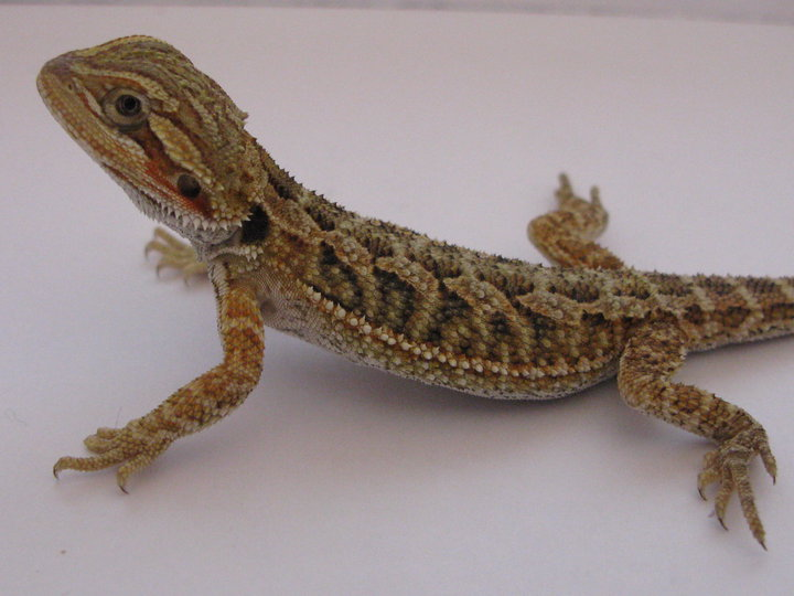 Eastern Baby Bearded dragons Extreme Bloodred x Hypo ...